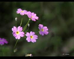 春の花(ピンク)